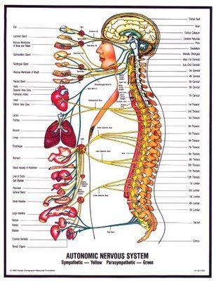 Вегетативната нервна система